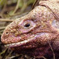Ecuador Pink Iguana