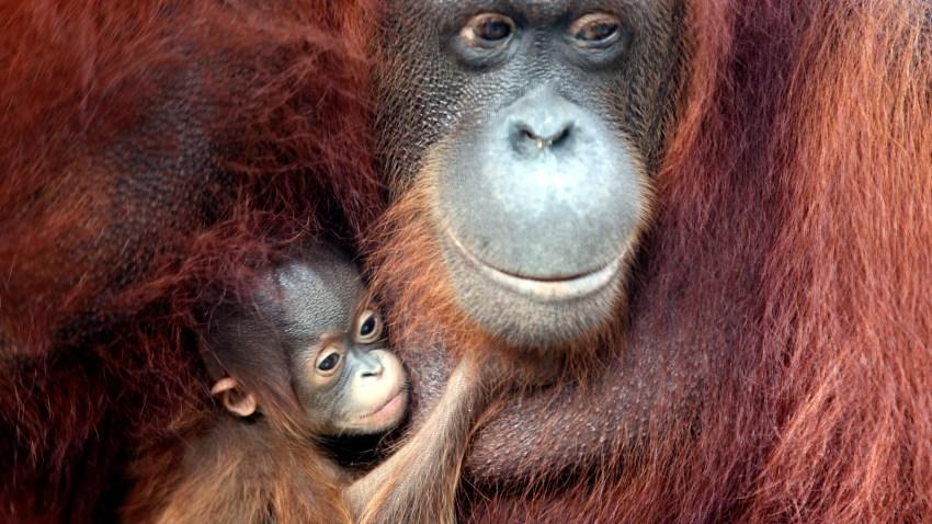 012909 Zoo Babies Orangutan