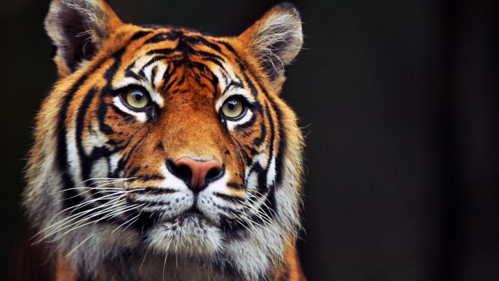 130277578MK029_Tiger_Triple