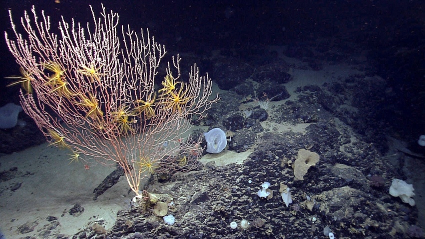 This 2013 file photo released by the National Oceanic and Atmospheric Administration made during the Northeast U.S. Canyons Expedition, shows corals on Mytilus Seamount off the coast of New England in the North Atlantic Ocean.