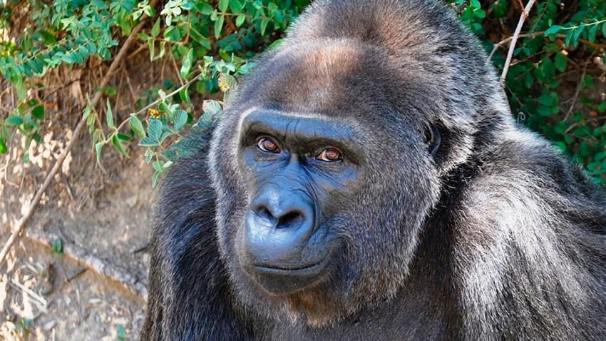 Oldest Gorilla Dies