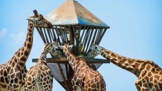 Zoo giraffes feeding, Safari at Six Flags Great Adventure