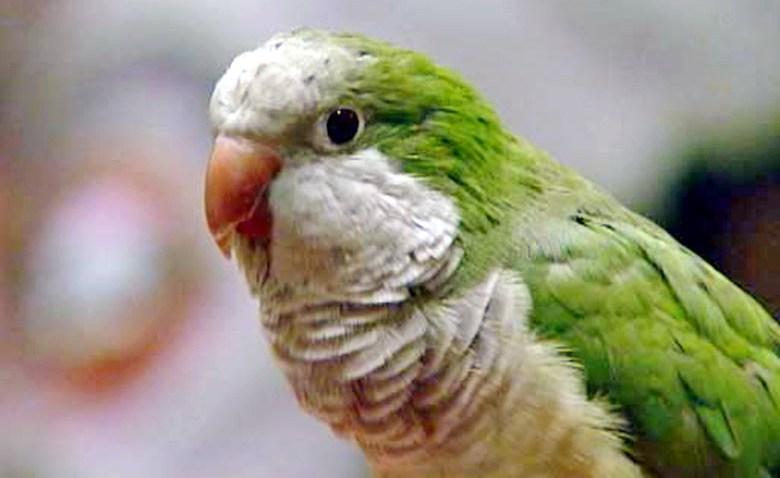 Hero Parrot Choking