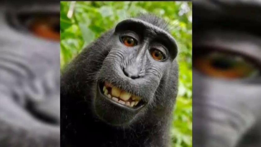 Monkey_Selfie_Lawsuit_Begins_Today
