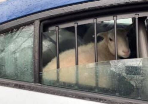Sheep in a police car