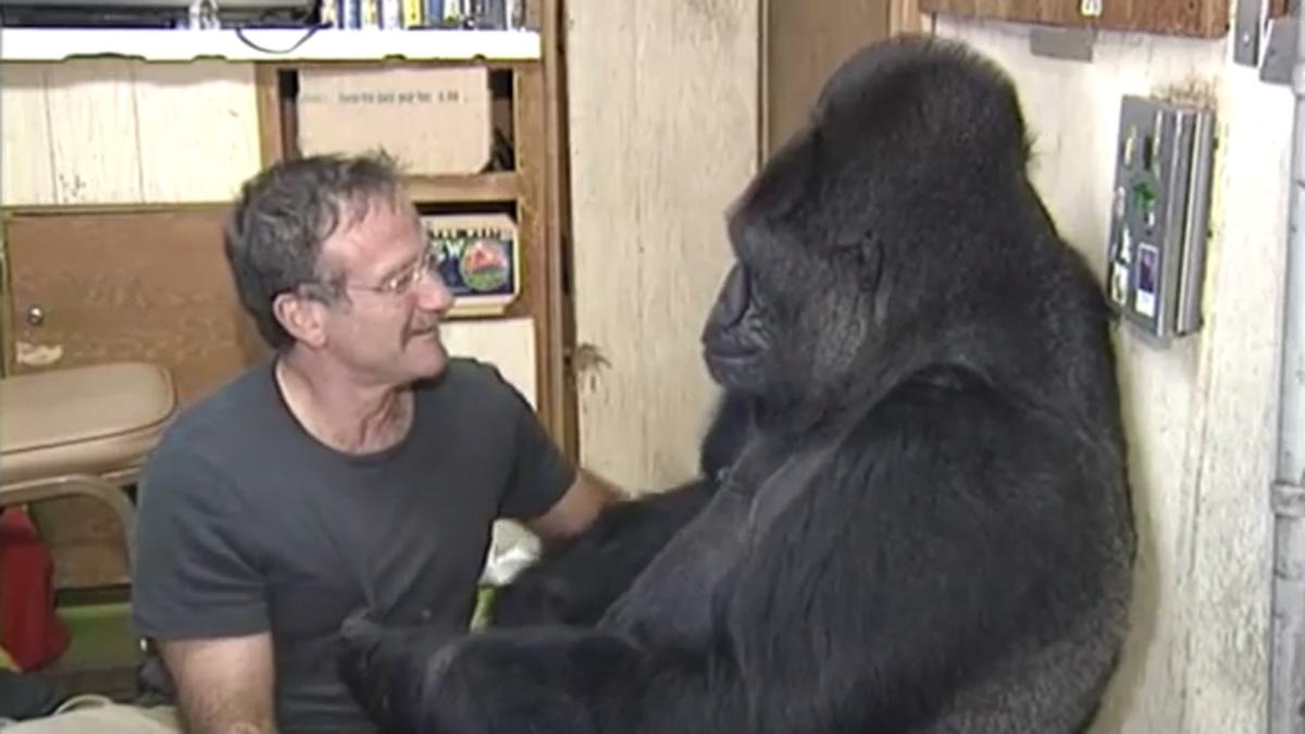 Gorilla Mourns Loss of 'Friend' Robin Williams, Caretaker ...
