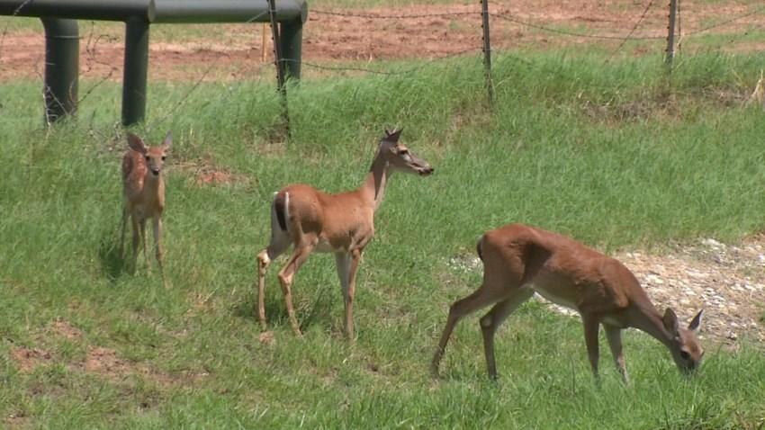 azle-deer-problem