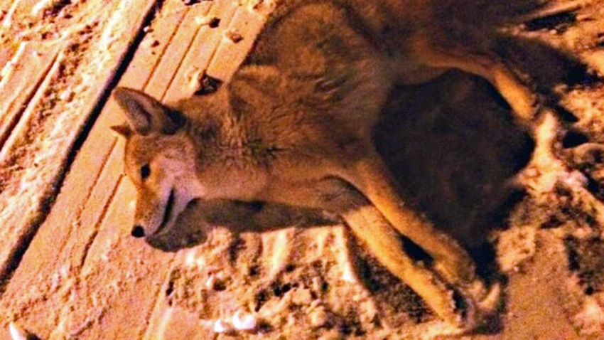 coyote other pic