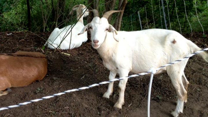 eco goats haverford college