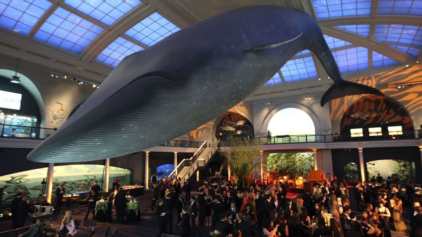 03 10 09 blue whale american museum of natural history