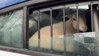 Holy Sheep! New Jersey Police Corral Unexpected Escapees
