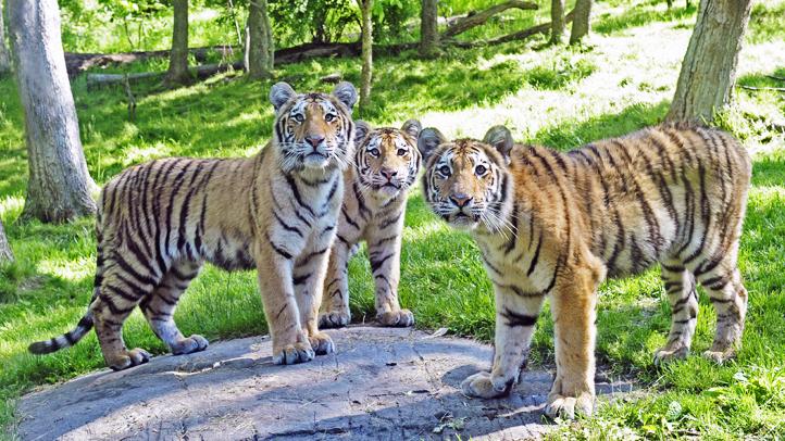 tiger cubs julie larsen