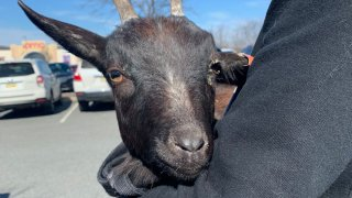 A young black goat that was rescued from North Bergen
