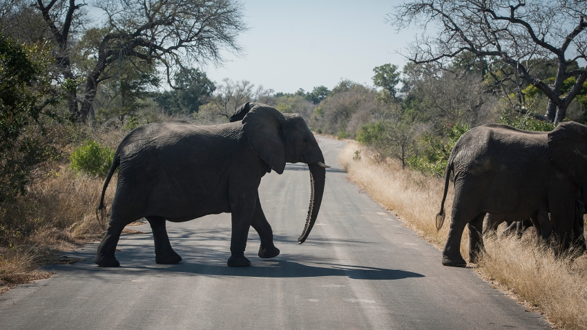 An elephant crosses the road in the Kruger National Park, South Africa, Wednesday, July 29, 2020. Animals have had the country's world-famous wildlife parks to themselves because of lockdown rules that barred international tourists and made it illegal for South Africans to travel between provinces for vacations.