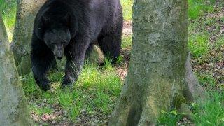 bear walks through forest