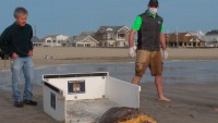 Once Near Death, Sea Turtles Rescued in NJ Released Back Into the Ocean