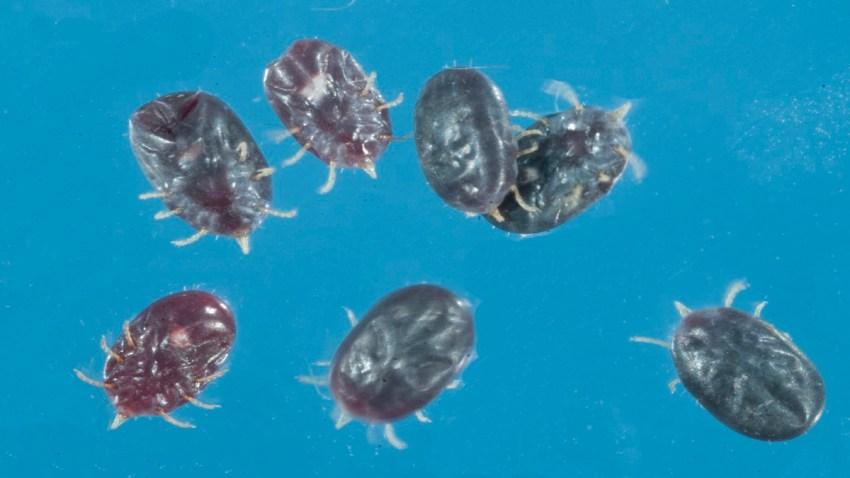 """La especie de garrapata, conocida como Carios kelleyi (o C.kelleyi), es una garrapata """"blanda""""."""