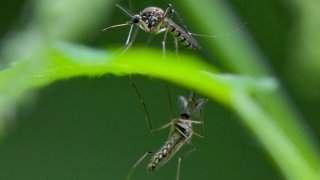 Mosquito plague on the border river Oder