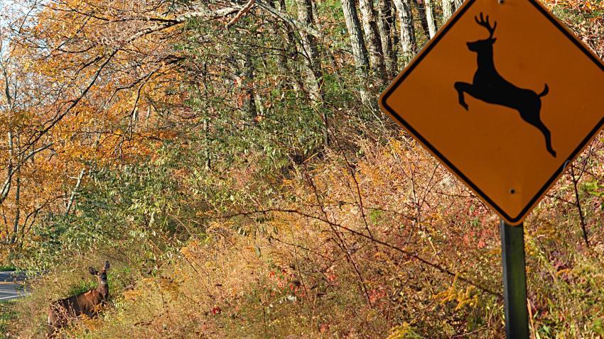 """A deer crosses at a """"deer crossing"""""""
