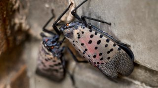 A group of adult Spotted Lanternflies
