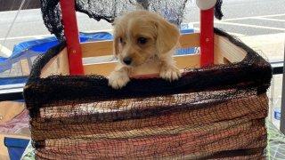 Cute puppy in a basket