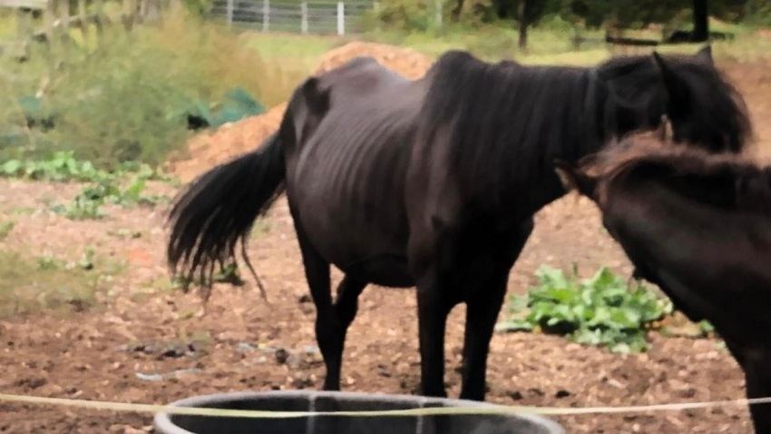 A malnutritioned horse in the case of a Queens man charged with 92 counts of animal cruelty