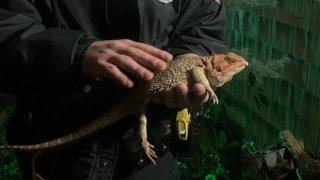 ny lizard