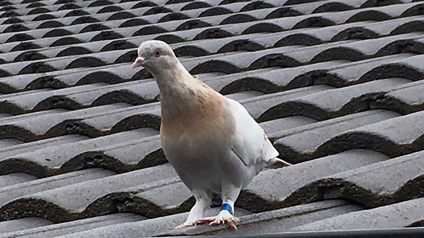 A racing pigeon sits on a rooftop