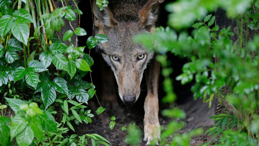 FILE - In this Monday, May 13, 2019 file photo, A female red wolf emerges from her den sheltering newborn pups at the Museum of Life and Science in Durham, N.C. A judge has ordered the federal government to come up with a plan to release more endangered red wolves from breeding programs to bolster the dwindling wild population. U.S. District Judge Terrence Boyle signed an order Thursday, Jan. 21, 2021 directing the U.S. Fish and Wildlife Service to draft a plan by March 1 for releasing captive-bred wolves into the wolves' designated habitat in North Carolina.