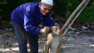 This photo taken on July 9, 2020 shows a macaque monkey having a rope attached to his neck before climbing up a palm tree to knock down coconuts in Berapea village near Narathiwat in southern Thailand.
