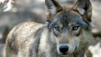 US States Look to Step Up Wolf Kills, Pushed by Republicans