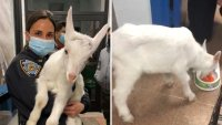 Wandering 'Billy the Goat' Rescued After Being on the Lam in Brooklyn