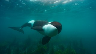 an Orca in New Zealand hunting for stingray