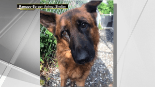Shelby, a 6-year-old German Shepherd dog found in Closter, was seemingly abandoned last week.