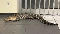 Customer Finds 7-Foot Gator Inside Florida Post Office