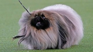 A Pekingese named Wasabi walks with its handler in the Best in Show at the Westminster Kennel Club dog show, Sunday, June 13, 2021, in Tarrytown, New York. The dog won the blue ribbon in Best in Show.
