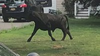 Rogue NY Bull That Bolted From Slaughter Fate Still on Loose a Day Later: Cops