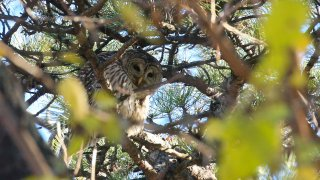 Barred Owl New York Central Park
