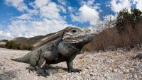 NJ Man Pleads Guilty to Illegally Trying to Ship Iguanas to Hong Kong