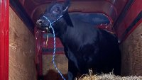 Rogue Bull 'Barney' Captured After 2 Months on Lam in Long Island