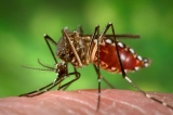 Chikungunya: What You Need to Know
