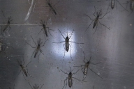 Zika Mosquitoes Resilient, Hard to Fight