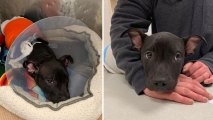 Puppy Recovering From Being Set on Fire in NJ: Rescue
