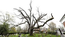 600-Year-OId Oak Tree in NJ to Come Down Monday
