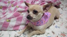 Elderly, Blind Chihuahua Stolen From Owners' Front Yard