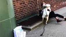 Big Bulldog Knocks Over Alexandria Ocasio-Cortez During Call