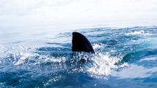Swimming Briefly Suspended at NY Beach During Shark Capture