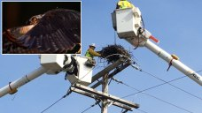 Workers Relocate Osprey Nest Found on Electric Pole in NJ