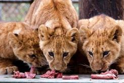 Newborn Lion Cubs Unveiled at Wildlife Waystation in SoCal