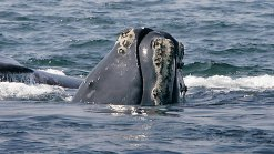 As Whale Watching Season Begins, Advocates Look to Protect Them